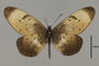 124211 Acraea sp d IN