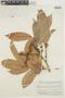 Pseudolmedia laevis (Ruíz & Pav.) J. F. Macbr., BRAZIL, F