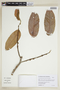 Pseudolmedia laevis (Ruíz & Pav.) J. F. Macbr., PERU, F