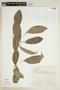 Sorocea ilicifolia image