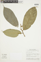Trymatococcus amazonicus Poepp. & Endl., BRAZIL, F