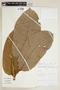 Helicostylis turbinata C. C. Berg, PERU, F
