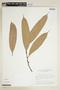 Naucleopsis caloneura (Huber) Ducke, BRAZIL, F