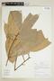 Naucleopsis caloneura (Huber) Ducke, BOLIVIA, F
