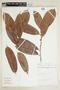 Naucleopsis concinna (Standl.) C. C. Berg, PERU, F