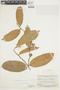 Naucleopsis guianensis (Mildbr.) C. C. Berg, BRITISH GUIANA [Guyana], F