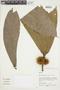 Naucleopsis humilis C. C. Berg, Peru, M. Rimachi Y. 10159, F