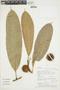 Naucleopsis imitans (Ducke) C. C. Berg, PERU, F