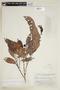 Naucleopsis oblongifolia (Kuhlm.) Carauta, BRAZIL, F