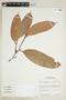 Naucleopsis ternstroemiiflora (Mildbr.) C. C. Berg, BRAZIL, F