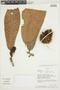 Naucleopsis ulei (Warb.) Ducke, ECUADOR, F