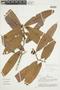 Naucleopsis ulei subsp. amara (Ducke) C. C. Berg, PERU, F