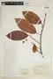 Ficus americana subsp. americana, COLOMBIA, F