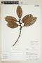 Ficus americana subsp. andicola (Standl.) C. C. Berg, ECUADOR, F