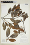 Ficus americana subsp. greiffiana (Dugand) C. C. Berg, BRAZIL, F