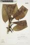 Ficus caballina Standl., PERU, F