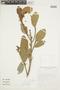 Ficus coerulescens (Rusby) Rossberg, BOLIVIA, F