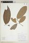 Pseudolmedia laevis (Ruíz & Pav.) J. F. Macbr., BOLIVIA, F