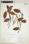 Pseudolmedia laevis (Ruíz & Pav.) J. F. Macbr., Peru, A. H. Gentry 29237, F
