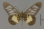 124200 Acraea sp v IN