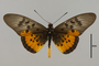 124213 Acraea sp d IN