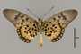124213 Acraea sp v IN