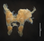 43941 Alluviobolus antanosy HT IN posterior gonopods z6 2x 1.25zoom
