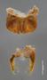 6169 Aphistogoniulus diabolicus HT IN posterior gonopods cf2 p3 cz7
