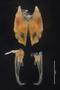 8188 Hylekobolus rufus anterior gonopods z6 2x .08zoom L17