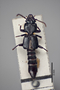 2819355 Priochirus propinquus ST d IN