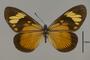 124160 Actinote thalia anteas d IN