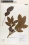 Tapirira guianensis Aubl., BRAZIL, G. T. Prance 30237, F