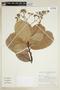 Anacardium occidentale image
