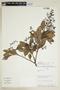 Mauria heterophylla image