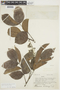 Mauria suaveolens image