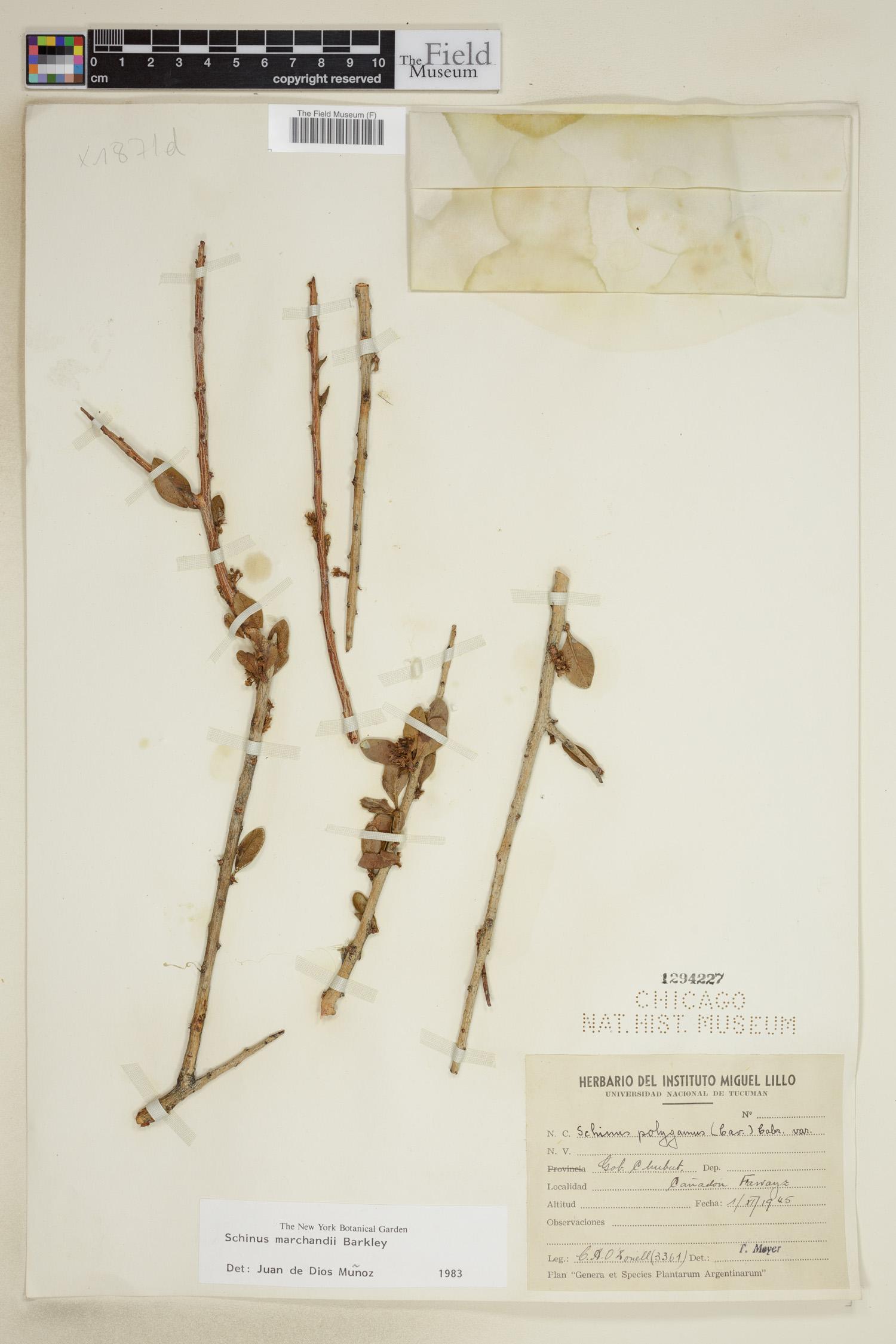 Schinus marchandii image