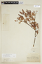 Schinus pearcei image