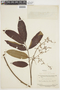 Tapirira guianensis image