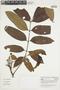 Tapirira guianensis Aubl., COLOMBIA, F
