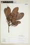 Tapirira guianensis Aubl., BOLIVIA, F