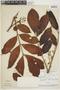 Tapirira guianensis Aubl., BRAZIL, F
