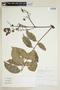 Toxicodendron striatum image