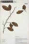 Laetia Loefl. ex L., PERU, L. P. Kvist 1613, F