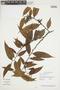 Guatteria schomburgkiana Mart., Guyana, L. J. Gillespie 1081, F
