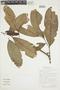 Cremastosperma leiophyllum R. E. Fr., BOLIVIA, F