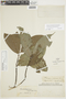 Cremastosperma leiophyllum R. E. Fr., PERU, F