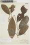 Cremastosperma pedunculatum (Diels) R. E. Fr., PERU, F