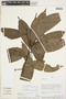 Cremastosperma longicuspe R. E. Fr., Peru, S. D. Knapp 7178, F