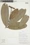 Cremastosperma leiophyllum R. E. Fr., Bolivia, I. G. Vargas C. 1193, F