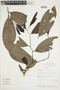 Cremastosperma pedunculatum (Diels) R. E. Fr., Ecuador, A. H. Gentry 80543, F